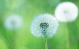 Картинка зелень, цветок, макро, зеленый, фон, одуванчик, растение
