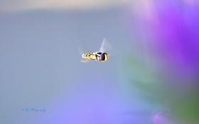Обои муха, фон, насекомое, журчалка