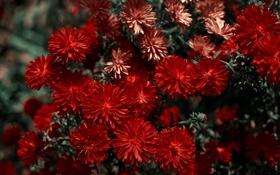 Обои Цветы, макро, красный