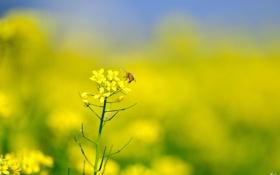 Обои пчела, рапс, лето