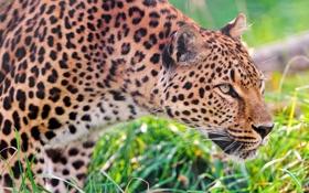 Обои трава, леопард, профиль, стоит, наблюдает, внимательно