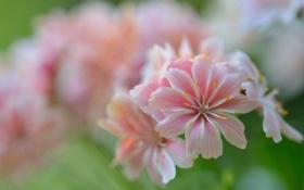 Картинка макро, цветы, нежные, розовые, Левизия котиледон