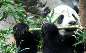 Обои панда, медведь, бамбук