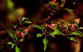 Обои листья, цветы, ветки, ветви, бутоны, цветение