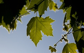 Обои небо, листья, природа