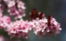 Обои бутоны, розовые, вишня, весна, цветение, сакура, природа