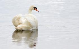 Обои грация, белый, лебедь, водоем, рябь