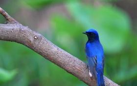 Картинка птица, ветка, птичка, синяя