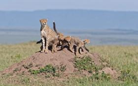 Обои трава, кошки, семья, холм, семейство, гепарды, детёныши