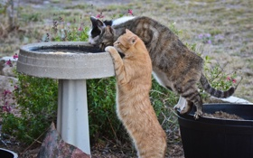 Обои кошки, жажда, коты, водопой
