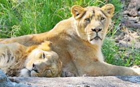 Картинка взгляд, отдых, лев, пара, двое, львы