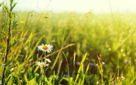 Картинка зелень, белый, трава, солнце, цветы, желтый, зеленый