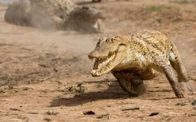 Обои крокодил, бег, пасть