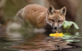 Картинка цветок, вода, природа, лиса, лисёнок