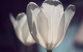 Обои белый, тюльпан, лепестки