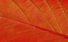 Обои Red, autumn, pattern, leaf