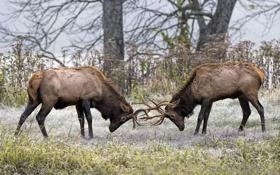 Обои природа, борьба, олени