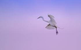 Обои небо, полет, крылья, лапы, цапля, живая природа
