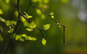Обои листья, береза, макро