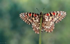 Картинка травинка, насекомое, макро, бабочка