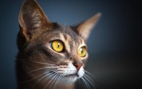 Картинка кошка, глаза, кот, макро, шерсть, мордашка
