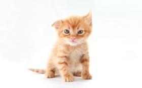 Обои кот, котенок, рыжий, чудик