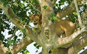 Обои взгляд, хищник, лев, львица, на дереве