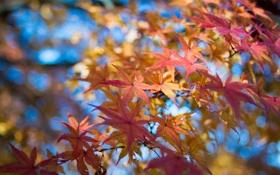 Картинка листья, осень, ветки, небо, клен, макро