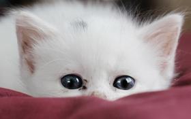 Обои белый, кот, котенок, прячется