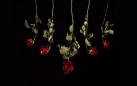 Обои цветы, фон, розы