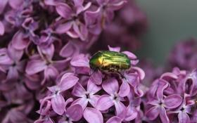 Картинка бронзовка, насекомые, жук, сирень, природа, растения, макро