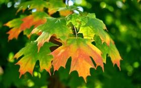 Картинка листья, кленовые, осенние