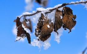 Обои природа, листья, снег, ветка