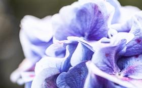 Обои фиолетовый, макро, цветы, синий, природа, лепестки, загадочность