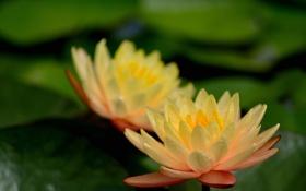 Картинка цветы, озеро, зеленые листья, желтые, лотос, водяная лилия