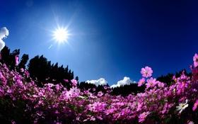 Обои полевые, космея, солнце, росовые, деревья, поле, цветы