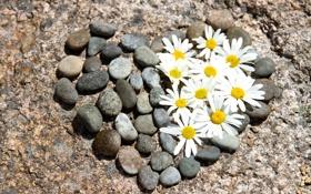 Картинка природа, сердце, ромашки, цветочки, камешки