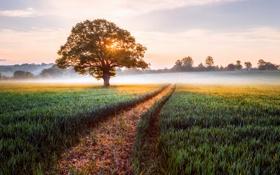 Картинка поле, солнце, свет, туман, дерево, Англия, утро
