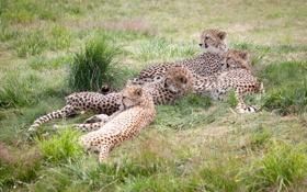 Обои трава, кошки, отдых, семья, гепарды