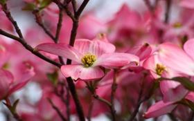 Обои лепестки, ветки, розовые, цветы