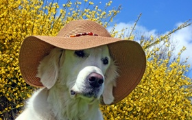 Обои лето, собака, шляпа