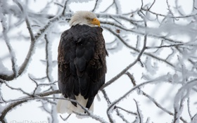 Картинка орёл, снег, ветки