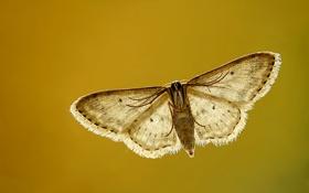 Картинка полет, крылья, коричневый, flying, brown, wings, моли