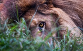 Обои трава, взгляд, глаз, лев