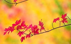 Обои листья, осень, ветка, природа, клен