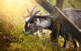 Картинка природа, забор, коза
