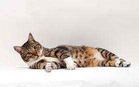 Картинка кошка, кот, белое, лежа