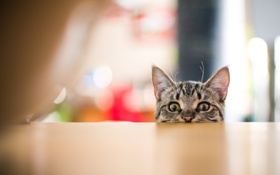 Картинка глаза, кот, стол, шерсть