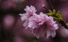 Обои макро, цветы, сакура