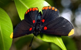 Обои листья, бабочка, насекомое, butterfly, insect